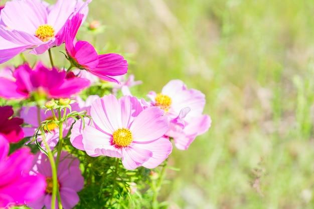Smmer grünes feld mit rosa frischen kosmosblumen