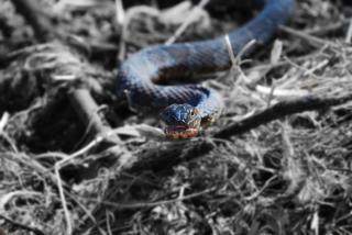Snake eyes, kalt