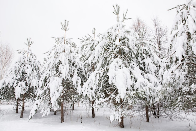 Snowy-baum im wald. weißer schnee auf zweigen der bäume. schnee im winter