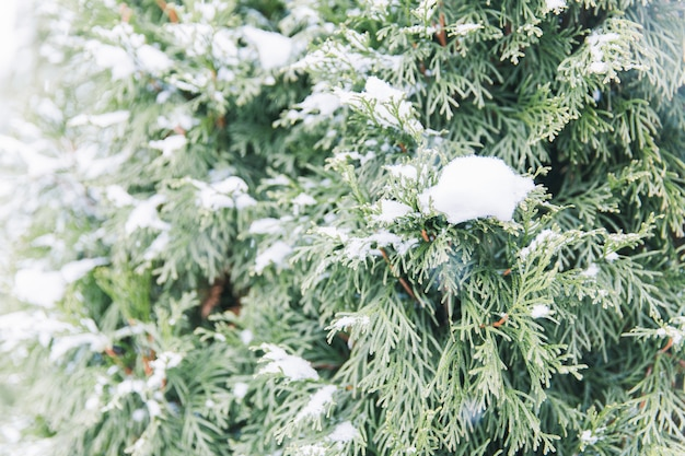 Snowy-niederlassungen von grünen fichten im wald. weihnachtsbaum
