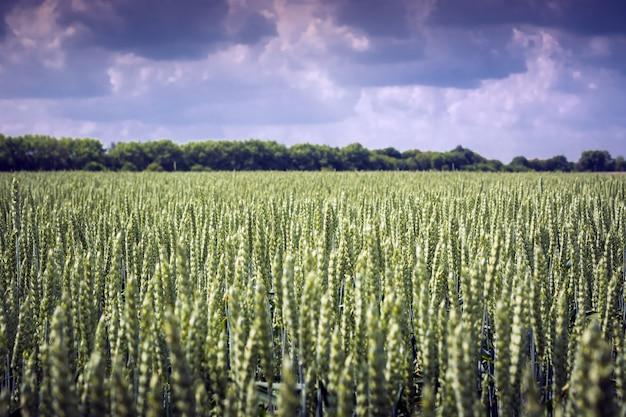 Sogar feld der ährchen des weizens gegen den himmel. perfekte pflanzenähnlichkeit