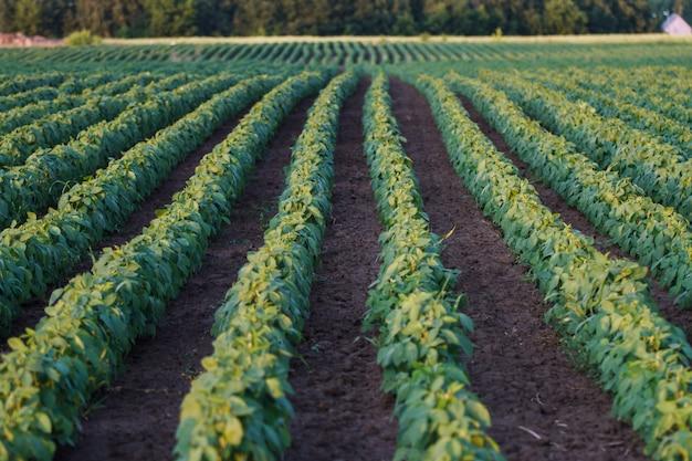 Sojabohnenfeld, das an der frühlingsjahreszeit reift