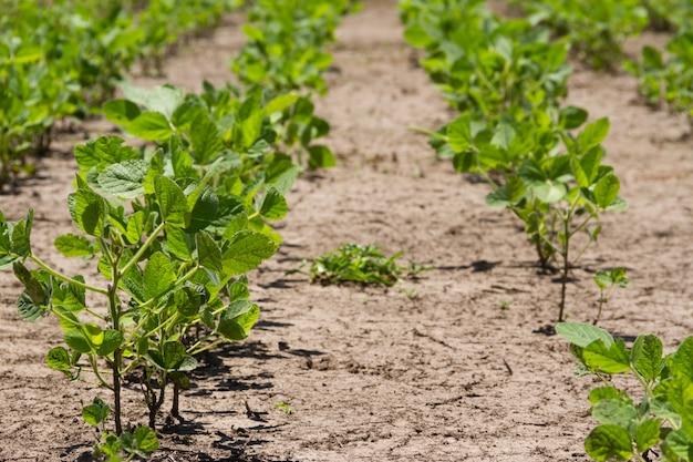 Sojabohnenplantage im sommer in der argentinischen pampa