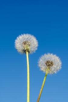 Sommer abstraktes konzept. löwenzahnblume gegen blauen hintergrund.