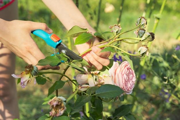 Sommer saisonale gartenarbeit, frauenhände mit gartenschere, die verwelkte blumen abschneiden