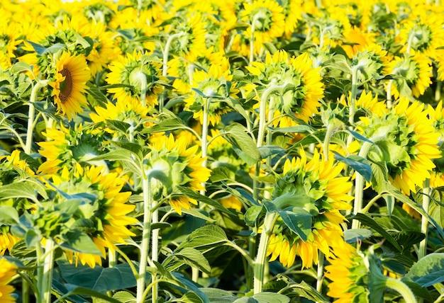 Sommer sonnenblumen (helianthus annuus) feld