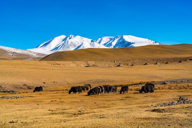 Sommeransicht der steppe mit einer herde kühe und dem schönen schneebedeckten berg in der mongolei.