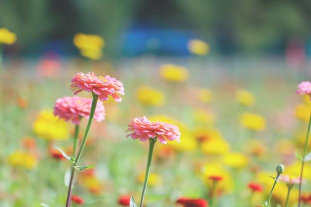 Sommerblume: chrysantheme