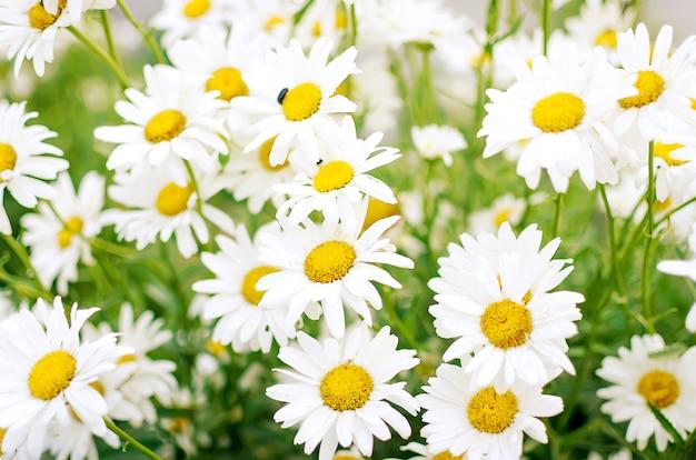 Sommerfeld der gänseblümchenblumen