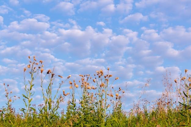 Sommerfeld mit wilden blumen unter blauem himmel und weißen wolken.