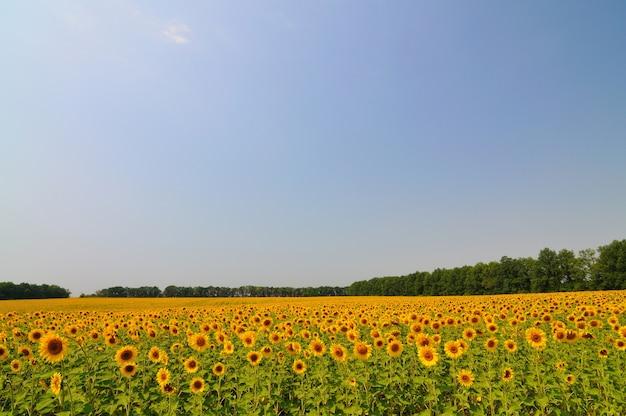 Sommergelbe sonnenblumen mit grünen blättern im feld am sommertag