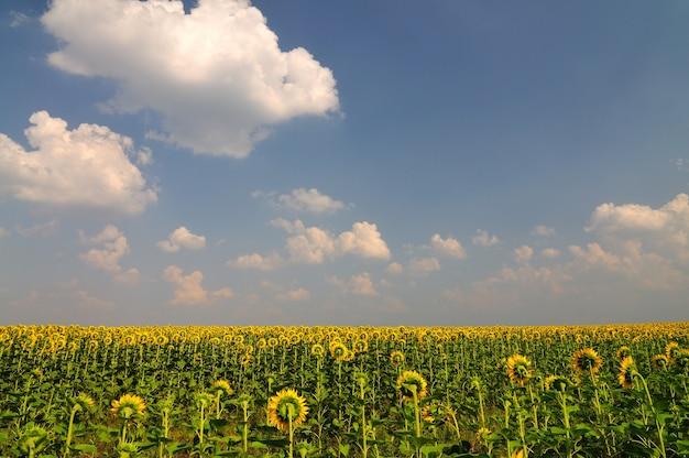 Sommergelbe sonnenblumen mit grünen blättern im feld mit blauem himmel mit wolken oben am sonnigen sommertag. landwirtschaftlicher natürlicher hintergrund, textur und tapete