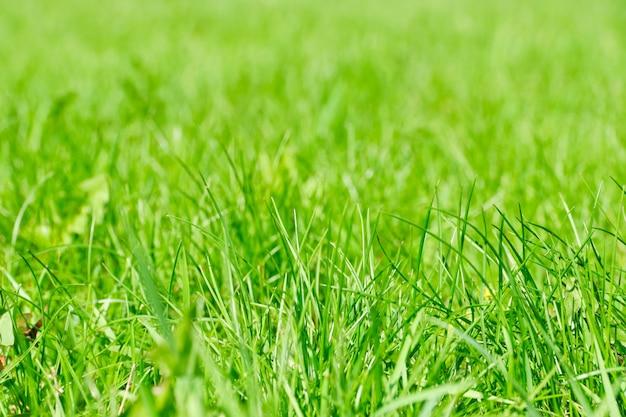 Sommerhintergrund des frischen blühenden grünen grases.