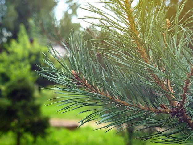 Sommerhintergrund mit einer grünen kiefernniederlassungsnahaufnahme. platz kopieren.
