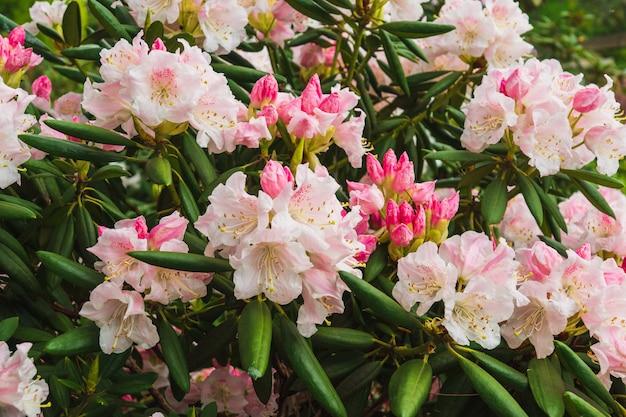 Sommerhintergrund von rhododendron simsii indische azalee, simss azalea