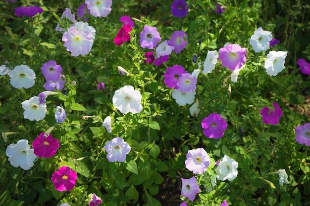 Sommerkonzept mit petunienblumen in einem park