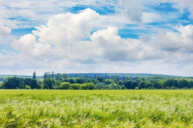 Sommerlandschaft: grünes weizenfeld und weiße wolken im blauen himmel