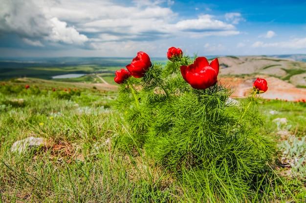 Sommerlandschaft, hügel und wiese mit grünem gras, übersät mit roten mohnblumen und löwenzahn