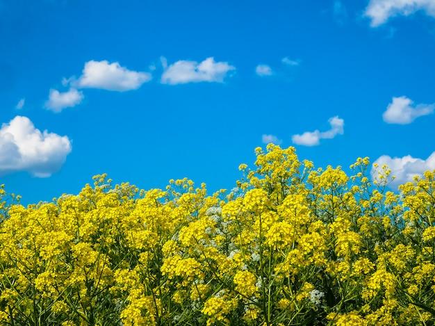 Sommerlandschaft mit blauem himmel und grünem gras mit gelben blumen.