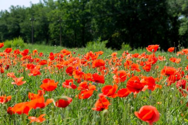 Sommerlandschaft mit blühenden roten mohnblumen