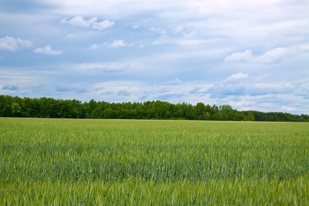 Sommerlandschaft mit grünem feld