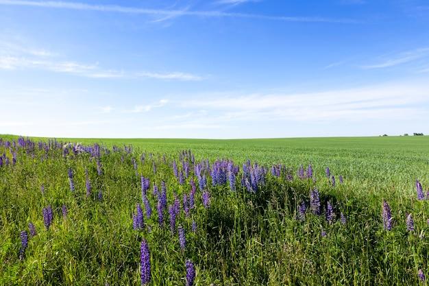 Sommerlandschaft mit grünem grasgras am rande des feldes, das blaue wilde lupine, blauer himmel wächst