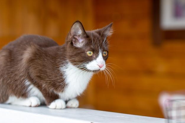 Sommerporträt einer katze, die entlang eines hölzernen zauns auf einem hintergrund der natur geht. ein braunes und weißes kätzchen geht entlang eines holzzauns. eine katze namens busia. 2