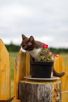 Sommerporträt einer katze, die entlang eines hölzernen zauns auf einem hintergrund der natur geht. ein braunes und weißes kätzchen geht entlang eines holzzauns. eine katze namens busia. 4