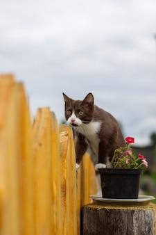 Sommerporträt einer katze, die entlang eines hölzernen zauns auf einem hintergrund der natur geht. ein braunes und weißes kätzchen geht entlang eines holzzauns. eine katze namens busia. 5