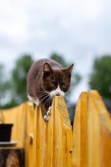 Sommerporträt einer katze, die entlang eines hölzernen zauns auf einem hintergrund der natur geht. ein braunes und weißes kätzchen geht entlang eines holzzauns. eine katze namens busia. 6