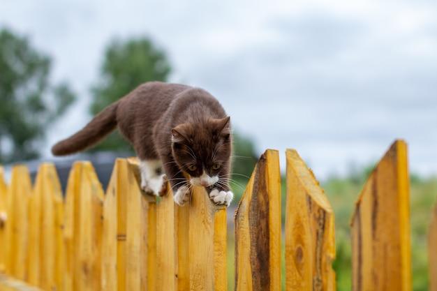Sommerporträt einer katze, die entlang eines hölzernen zauns auf einem hintergrund der natur geht. ein braunes und weißes kätzchen geht entlang eines holzzauns. eine katze namens busia. 8