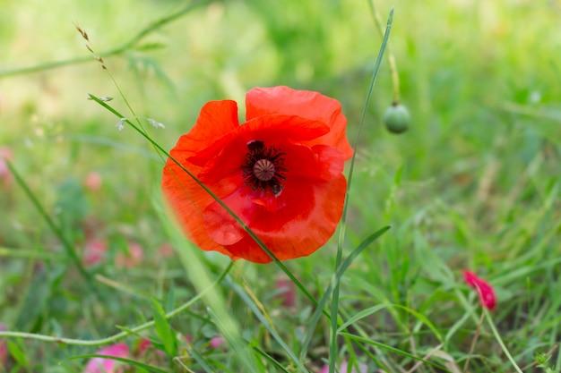 Sommerszene mit hellem rotem mohnblumenblumenfeld, goldener sonnenschein.