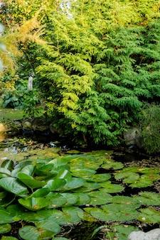 Sommerteich mit seerosenblüten auf dem wassera friedliche grüne pflanzenseerosenpads und seerosen ...