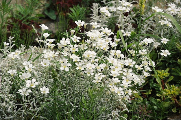 Sommerwiese blühende weiße wildblumen