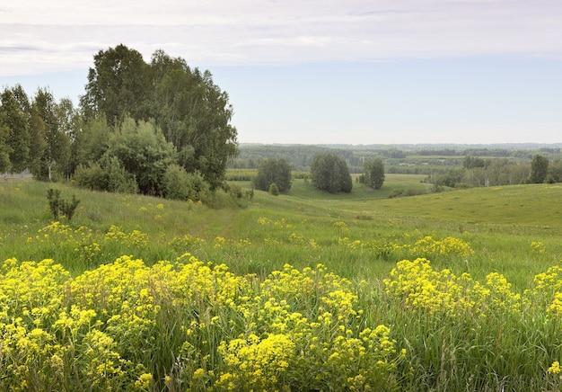 Sommerwiese unter blauem bewölktem himmel leuchtend gelbe wildblumen im dichten gras