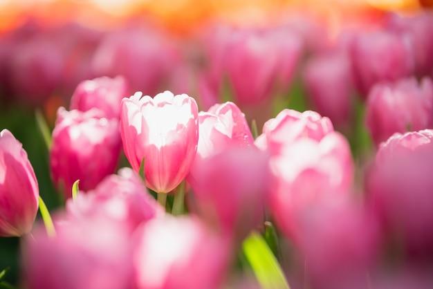 Sonne der tulpen im frühjahr im garten