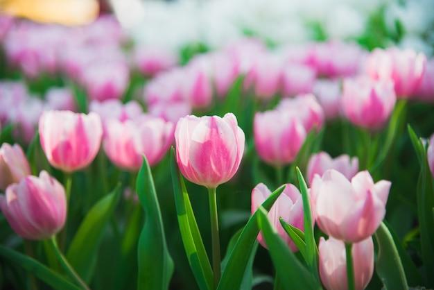 Sonne der tulpen im frühjahr