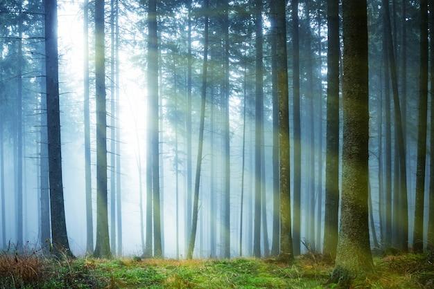 Sonne scheint durch geheimnisvollen nebel im grünen wald mit kiefern