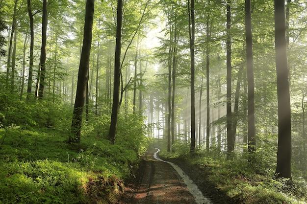 Sonnenaufgang im frühlingsbuchenwald nach regen