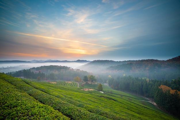 Sonnenaufgang und nebel im bosung-grünteefeld in korea