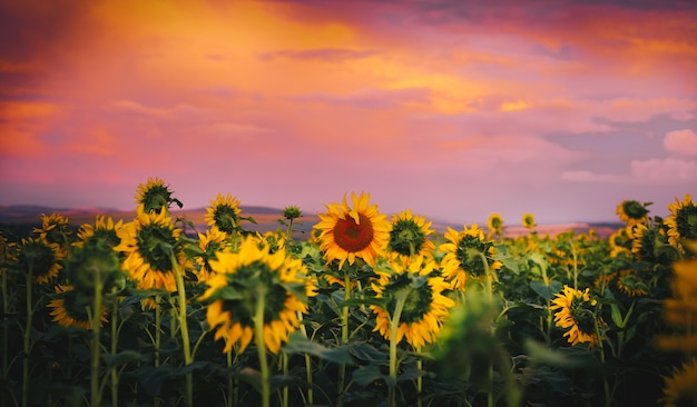 Sonnenblume am sonnenuntergang