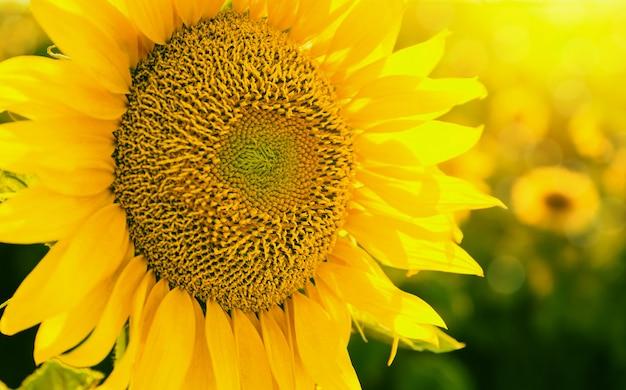Sonnenblume am sonnenuntergangabschluß oben