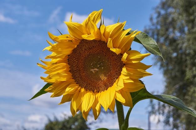 Sonnenblume an einem sonnigen tag