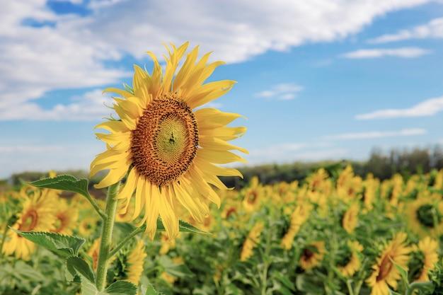 Sonnenblume auf blauem himmel des feldes.