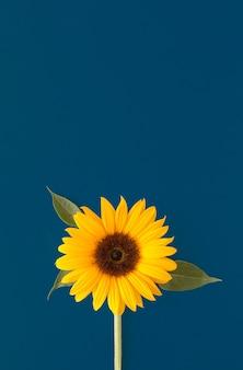 Sonnenblume auf blauem hintergrund sommerblumenkonzept mit großer kopienraum schöne blume