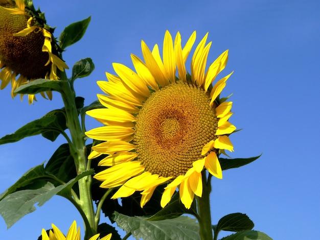 Sonnenblume auf dem feld in der region rostow in russland
