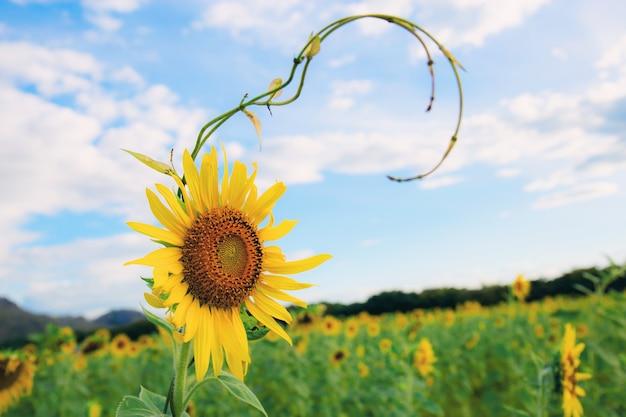 Sonnenblume auf dem gebiet mit blauem himmel.