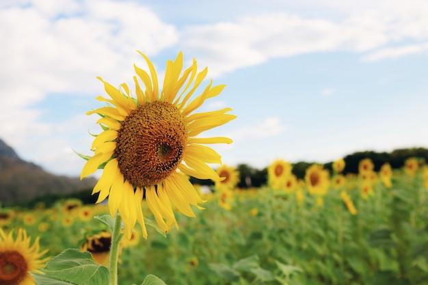 Sonnenblume auf dem gebiet mit himmel.