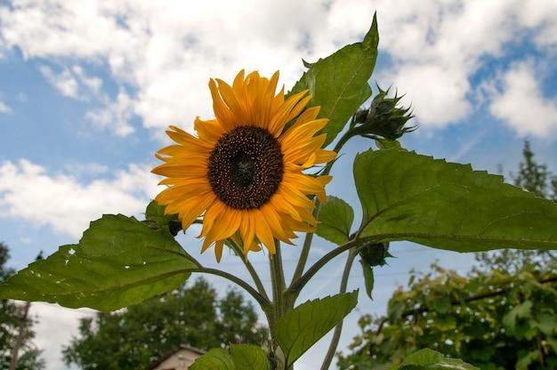 Sonnenblume auf dem hintergrund des himmels