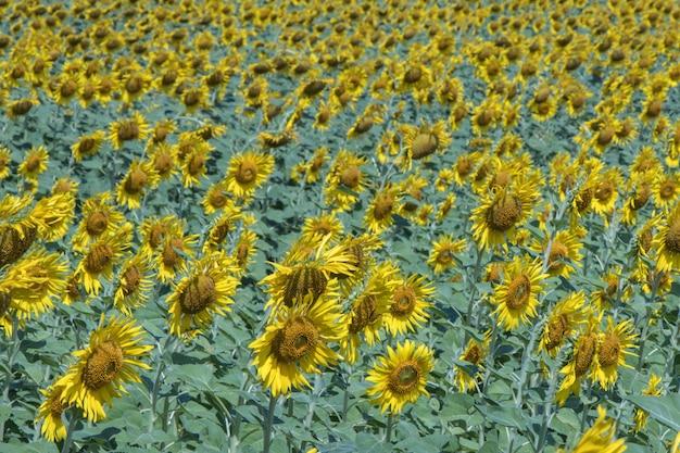 Sonnenblume auf den gebieten schöne sonne blüht hintergrund.